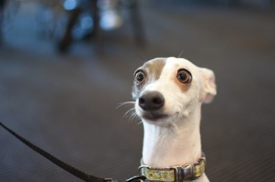 head shot of a whippet dog with a funny expression