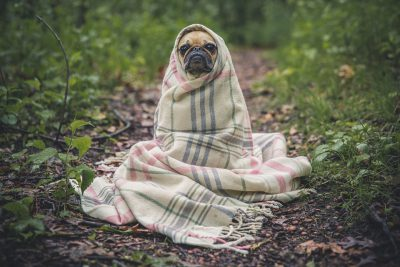 Tan Pug wrapped up in a blanket