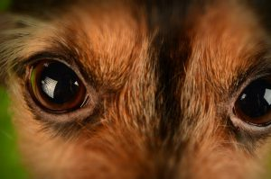 close up of a brown dog's eyes