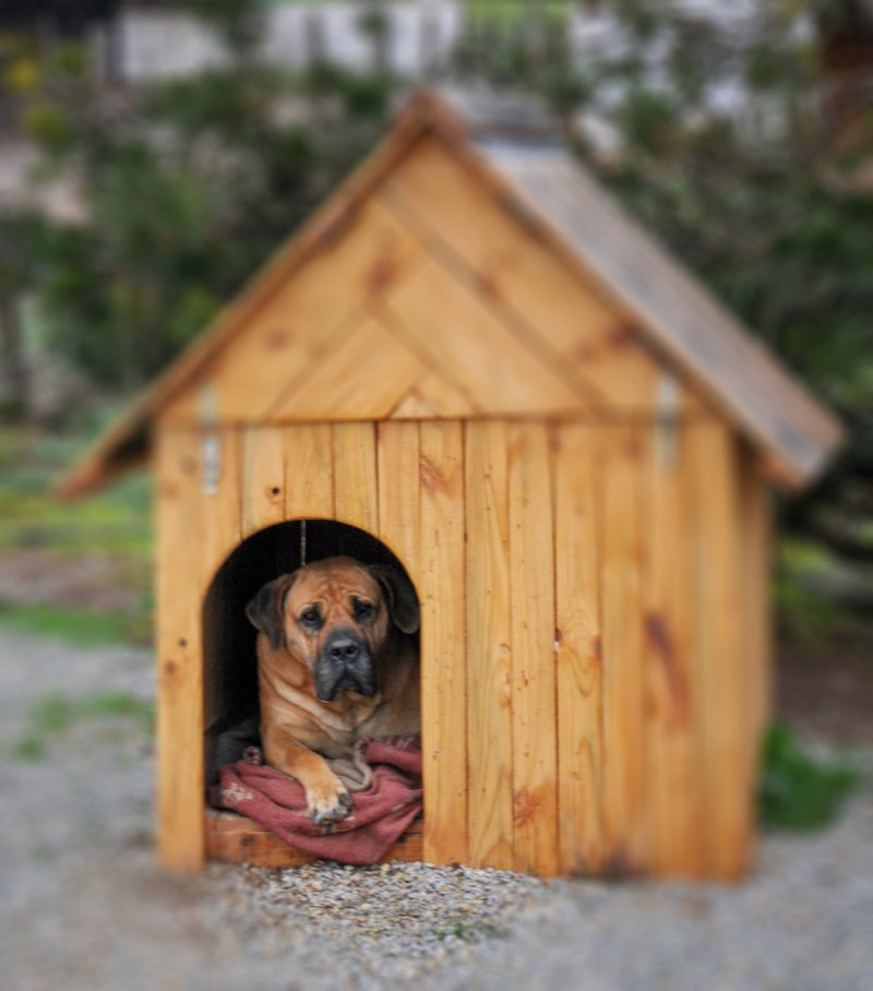 brown mastiff dog in doghouse