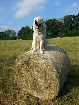 great pyrenees dog sitting up high on a round hay bale