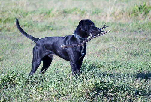Black lab retriever standing at attention with a branch in his mouth