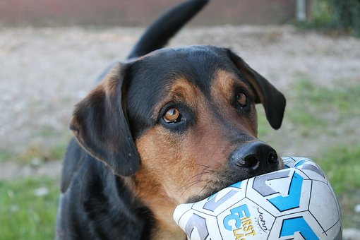 Black and tan Rottweiler X with a soccer ball in his mouth