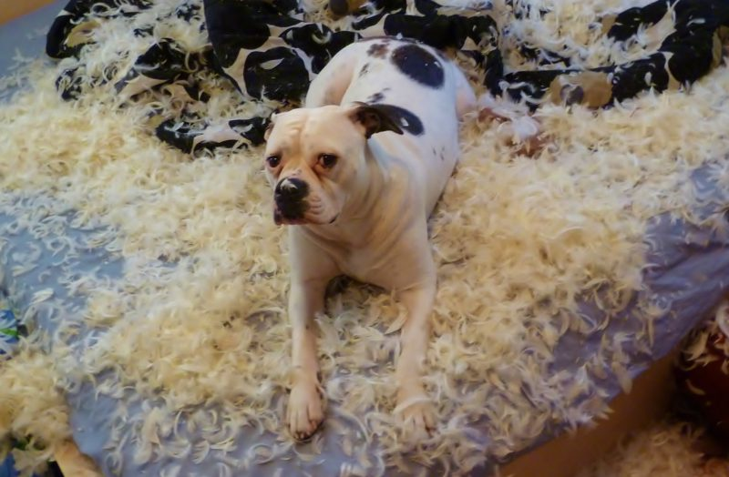 american bulldog destroys pillow