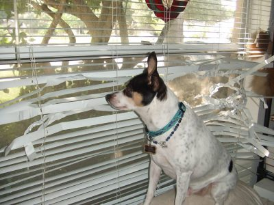 Jack Russell dog sitting in front of window blinds that are destroyed