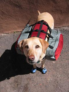 Yellow Lab Retriever wearing a dog back and dog boots