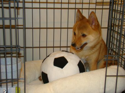 Shiba Enu dog in a crate with a soft soccer ball