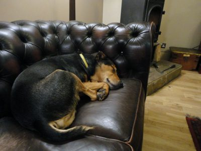 black and tan dog on leather couch sleeping