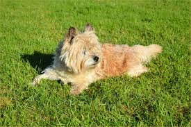 Norwich terrier on the lawn