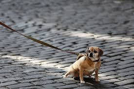 Pug x on leash peeing on brick road