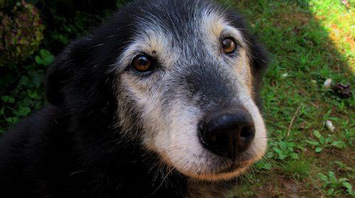 caring for the older dog