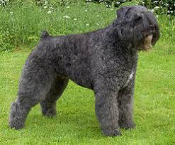 Dark Grey Adult Bouvier des Flandres