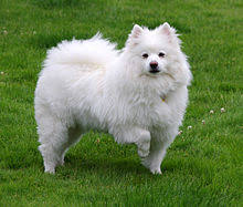 White American Eskimo dog in a standing pose with one front paw lifted
