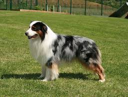 Blue Merle Australian Shepherd with white chest