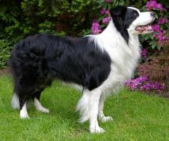 Black and white adult Border Collie