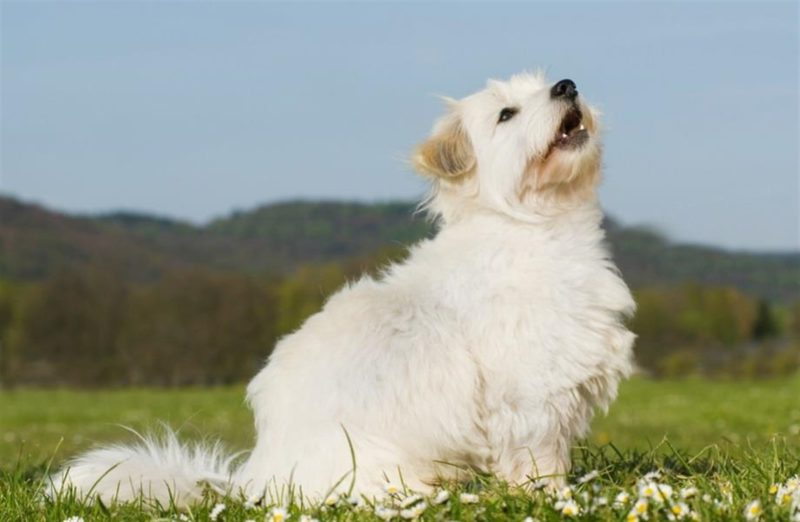 side profile of a white terrier