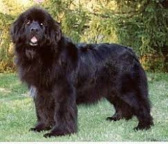Black Newfoundland Dog