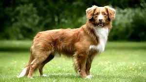 Fox coloured Nova Scotia Duck Tolling Retriever
