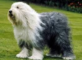 Adult Old English Sheepdog with dark grey body coat and white head and chest