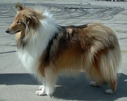 sable coloured Rough Collie