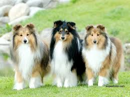 Three Tri coloured Shelties standing together