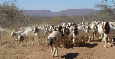 Anatolian Shepherd dog herding goats