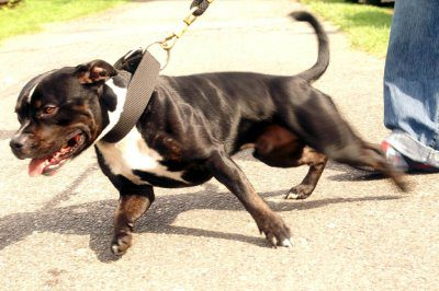 Stafforshire Terrier pulling on a leash