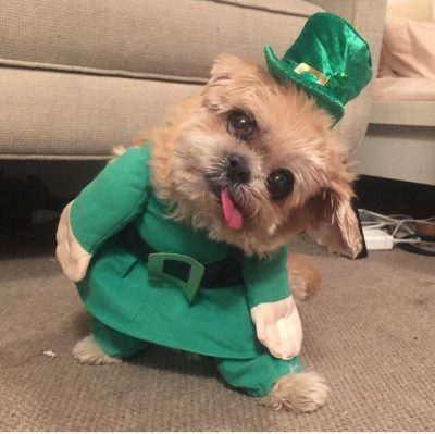 Yorkshire Terrier wearing a St.Patrick's Day costume