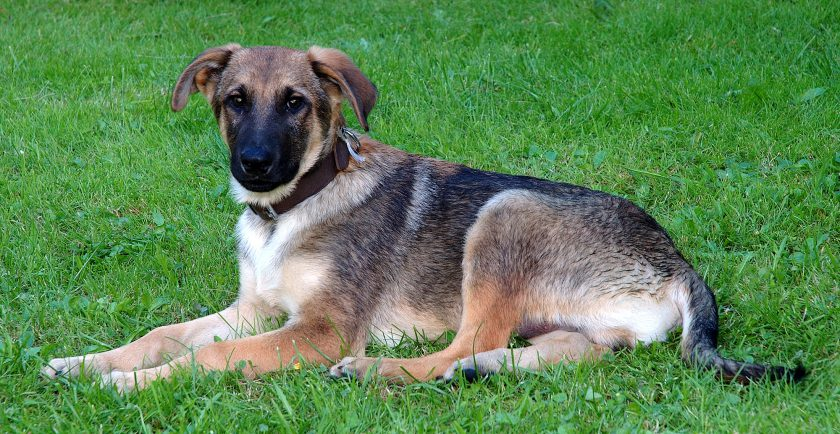 adopting a mixed breed