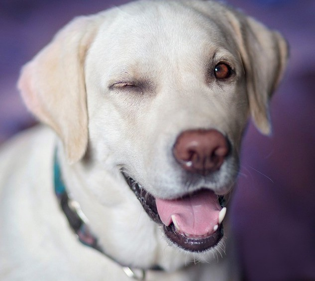 white Lab Retriever dog with one eye closed as in a wink