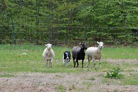 Black and white Border Collie herding 3 sheep