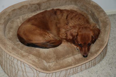 Brown Dachshund lying on a tan dog bed