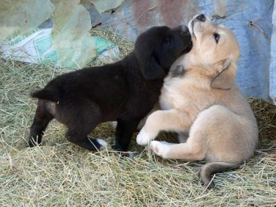 One black puppy and one golden puppy playing