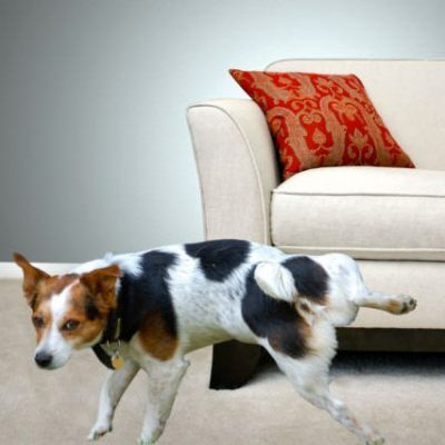 Jack Russel Terrier lifting his leg facing a couch