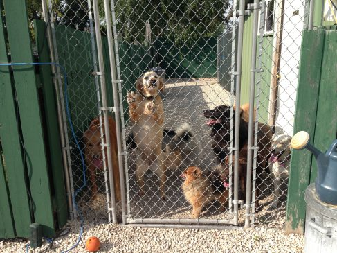 a group of visiting dogs behind a fence in our boarding facility