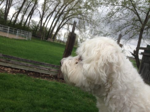 Havanese dog looking off in the distance