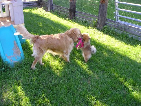 Golden Retriever and a Pomeranian playing with a Kong toy in a dog park