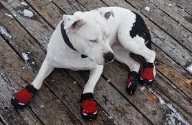 American Bulldog wearing boots