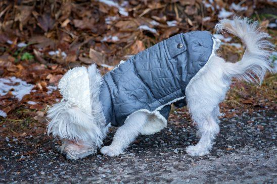 Maltese dog wearing a parka for a walk