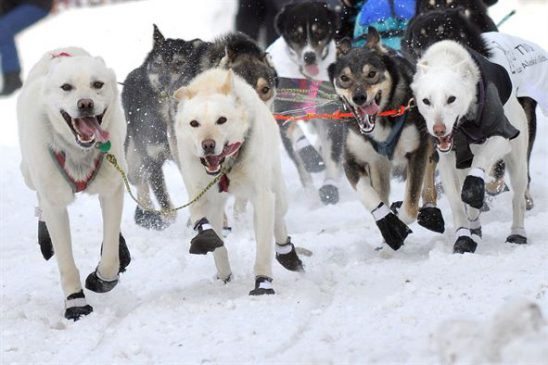 a sled dog team of mixed breed huskies