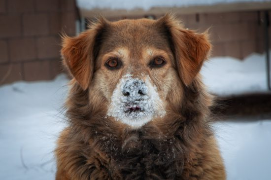 Brown heavy coated dog with snow on face