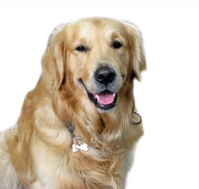 beautiful Golden Retriever sitting facing the camera with a happy expression