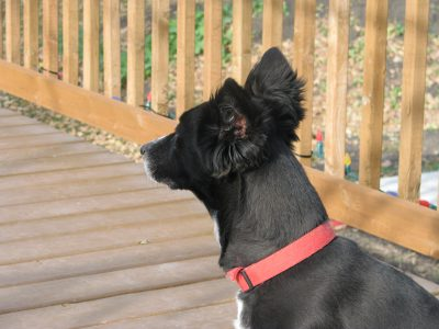 Black dog named Bobo wearing a red collar, sitting on our deck facing away from the camera