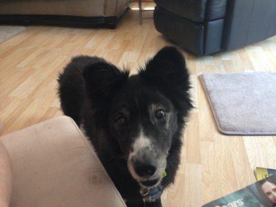 Corgi and Border Collie X dog