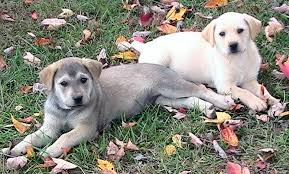 two puppies relaxing on the grass
