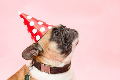 French Bulldog wearing a red and white birthday hat
