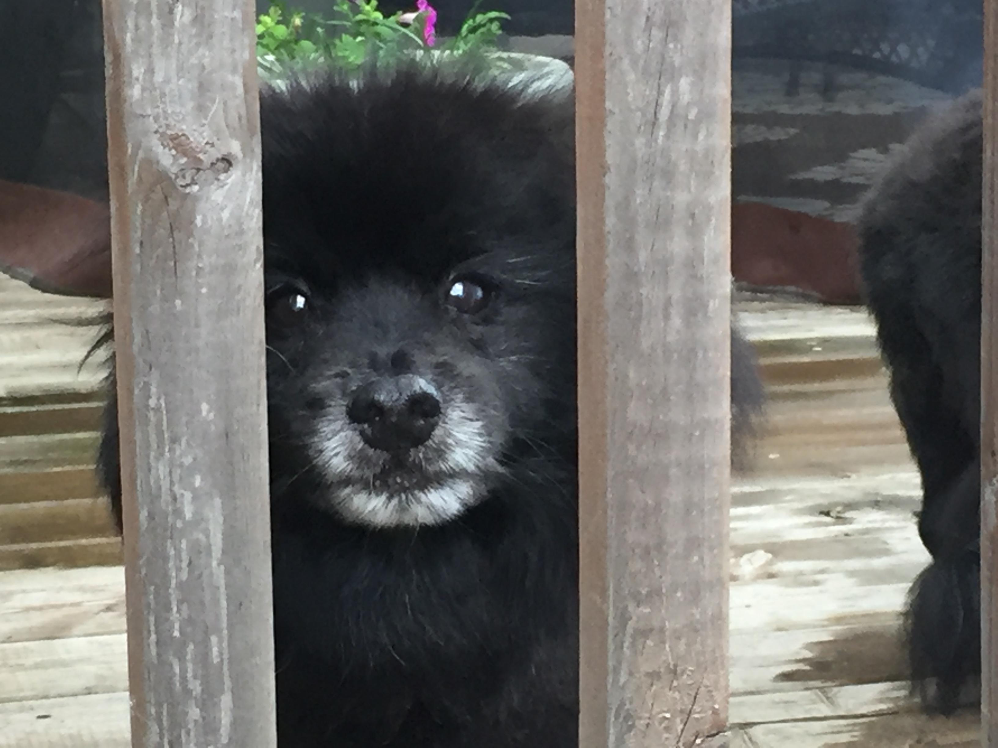 black pom x dog looking through deck railing
