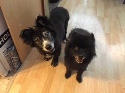 a black Corgi X and a black Pom standing side by side looking at the camera