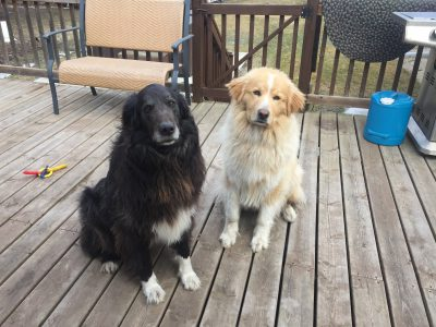 Black retriever X and gold toned retriever x sitting side by side facing the camera