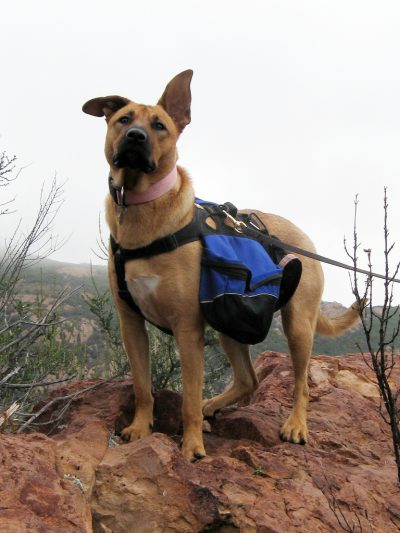 brown dog wearing a blue backpack